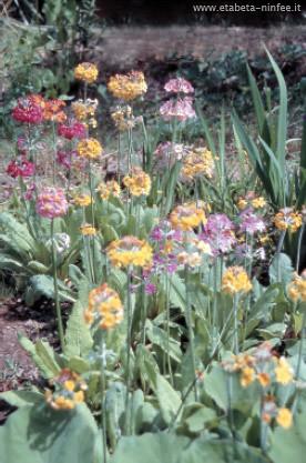 Primula Palustris