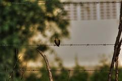 Passarinho (ThalesBrando) Tags: passarinho pssaro piau serto arame farpado