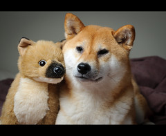 A New Friend - 13/52 (kaoni701) Tags: travel dog cute japan puppy toy stuffed nikon kyoto tokina   wireless nikkor suki shibainu shiba cls 535 atx inu  shibaken  50135 sb900 d300s 52weeksfordogs