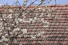 ازهار الربيع (gney) Tags: ربيع مشمش كرز