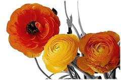 Renoncules (Barbara DALMAZZO-TEMPEL) Tags: flower fleur bunch vase bouquet bunche