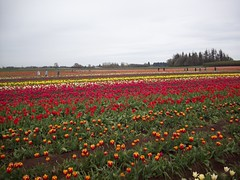 100_1175 (Smith's are Ore-Gone!) Tags: festival tulip