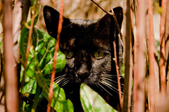 Black cat. (MartinBredal) Tags: wood cats black cute cat photoshop canon denmark eos martin lol 101 adobe danmark lightroom mikki cs3 cs4 aabenraa cs5 bredal 1000d  wriestlive