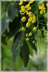 Happy n Prosperous Vishu!!! - Kani Konna (Golden Shower Tree) (Babish VB) Tags: vishu kanikonna