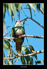 Rose-crowned Fruit Dove (Ross_M) Tags: birds australianbirds columbidae ptilinopusregina rosecrownedfruitdove columbiformes nikond300 pullenpullencreek