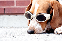 315/365 Best laid plans (Paguma / Darren) Tags: dog brick goggles hound floyd doggles