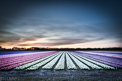 Colorpalet of flowers (Bas Lammers) Tags: pink sunset holland amsterdam zonsondergang purple perspective violet wideangle paysbas 1022mm flowerfields hdr hyacinth keukenhof roze paars lisse bulbfields perspectief hillegom groothoek canon50d bloemenvelden mygearandmepremium mygearandmebronze mygearandmesilver mygearandmegold mygearandmeplatinum mygearandmediamond