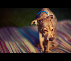 Mal (isayx3) Tags: dog greyhound field umbrella italian nikon shoot dof bokeh 85mm canine nikkor f18 depth d3 minature thru pincher onelight sb800 pocketwizard strobist plainjoe isayx3