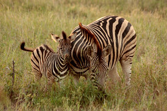 Burchell's Zebra, Kruger National Park