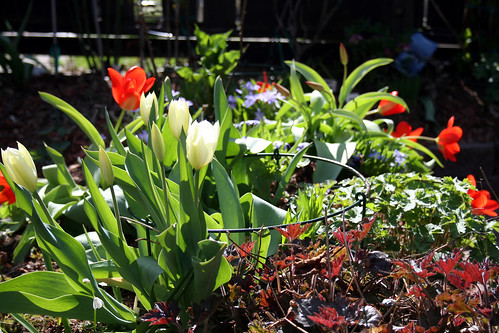 Tulips, Heuchera and lots of other plants in the garden bed