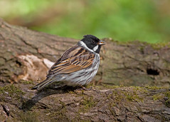 IMG_0983 Reed Bunting, Whitacre Heath, Warwickshire 21Apr10 (Lathers) Tags: birds canon 7d warwickshire bunting reedbunting canonef300f4lisusm canon7d warwickshirewildlifetrust whitacreheath wildinthemidlands 21apr10