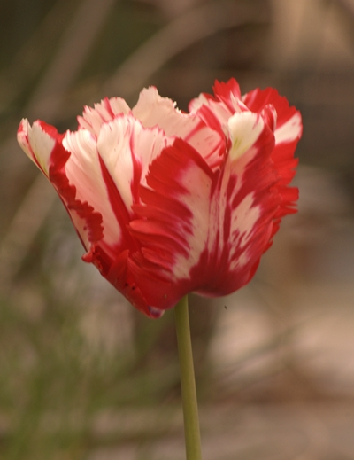 04-30-2010_redwhitetulip_rs