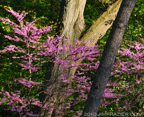 Redbuds in Late Afternoon