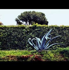 GREENIFICATION (Elena Fedeli) Tags: italy rome roma verde green italia details dettagli agave pino piante prato strati pitosforo casaletto
