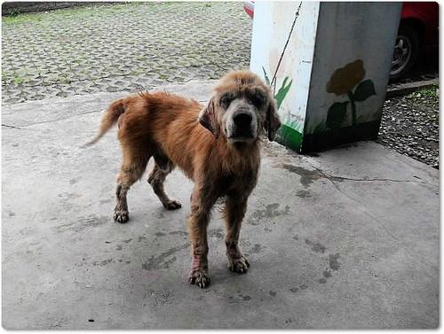 「需要支援」花蓮收容所救出的爛黃金獵犬,需要您的支援,懇請贊助醫療資源,也徵中途或是認養喔~隨手幫忙轉PO也是很需要~謝謝您!20100506
