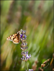 One of the last lavender flowers (KrysiaB) Tags: light butterfly insect lavender australia act