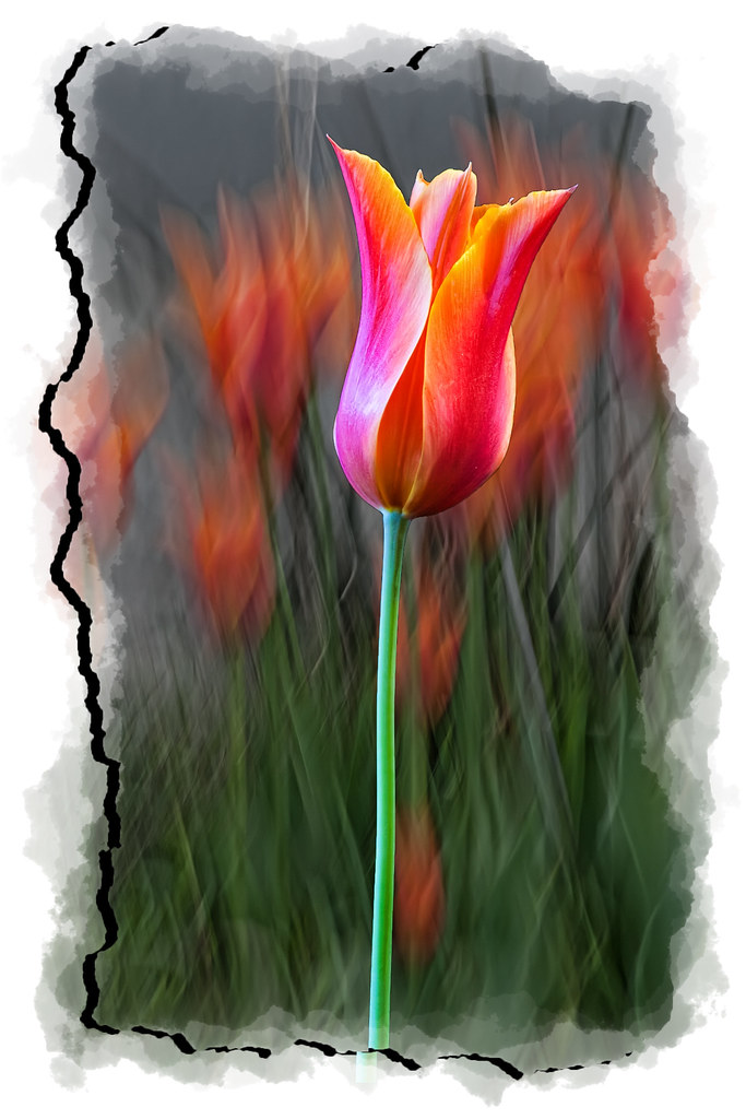 Last of the Tulips