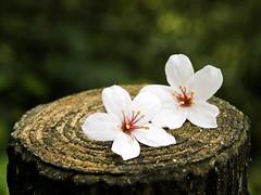 Couple (olvwu | ) Tags: white flower taiwan fallen miaoli    tungtree tungoiltree jungpangwu oliverwu oliverjpwu nanjhuang nanchuang tungflower miaolicounty olvwu   nanjhuangtownship jungpang nanchuangtownship
