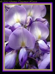 Wisteria (dietmut) Tags: flowers rotterdam nederland fabaceae wisteria bloemen 2010 niederlande schiedam zuidholland blauweregen panasoniclumix blauwpaars meimay blaulila dmcfx500 dietmut yourfavorites32 blauwblueblau paarsvioletlila