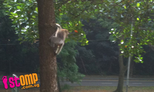 Monkey-ing around for food at Telok Blangah