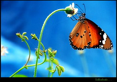 Plain Tiger (Subhash Kumarapuram) Tags: blue orange butterfly tiger plain plaintiger subhash subhashnoks subhashsl