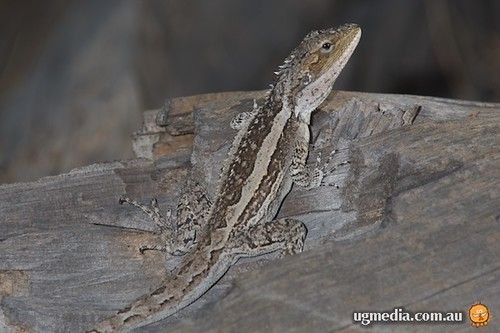 Burns' dragon (Amphibolurus burnsi)