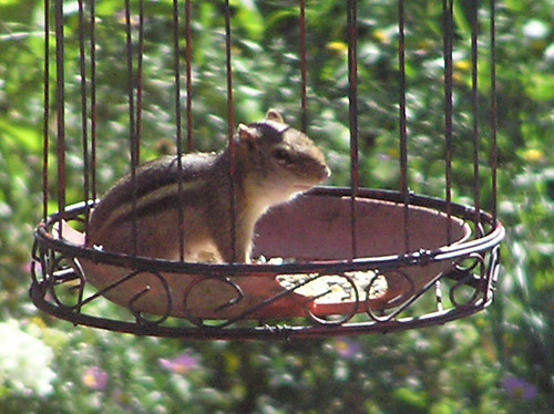 Chippy in Feeder