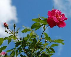 DSC_0851 (CrazyForWater) Tags: flower bloom gardenstate