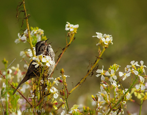 Sparrow in the wildflowers