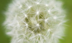 Dandelion V.2 (geeo123) Tags: flower macro green canon lens focus small dandelion trick v2 40d mywinners