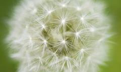 Dandelion V.2 (geeo123) Tags: flower macro green canon lens focus small dandelion trick v2 40d mywinners