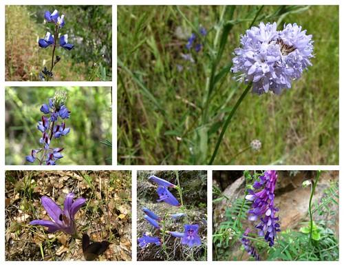 South Yuba Wildflowers -purple