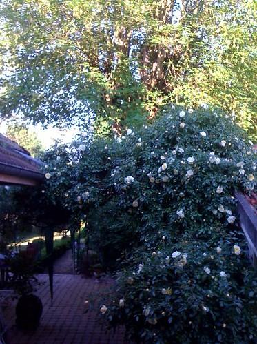 roses de mai maison