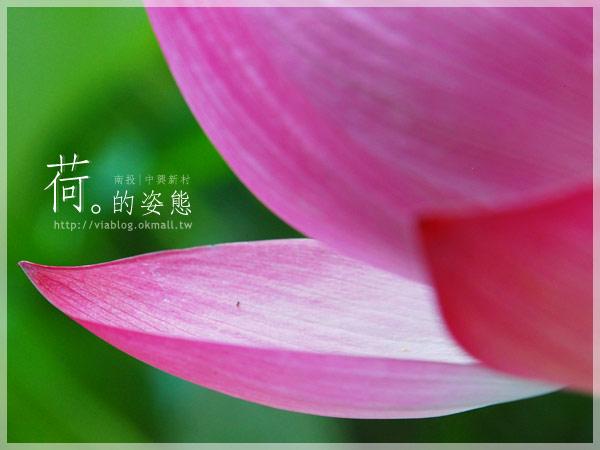 【2010賞荷】南投中興新村~荷花(蓮花)池準備盛放!13
