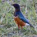 Superb starling showing off it's brilliant colours