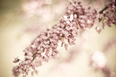 Cotton Candy (Design.Her) Tags: pink newmexico flower tree nikon bokeh blossoms cottoncandy redbud d90