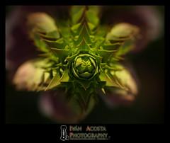 Estrella (Ivn Acosta) Tags: espaa plant flower planta island star spain flor canarias olympus tenerife canary fotografia ivn estrella islas camara fotografo acosta e510
