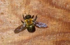 carpenter bee culprit