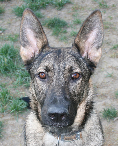A full-face portrait of Zille, a sable German Shedder, looking alertly at the camera.  She has both ears up, because today she is two!