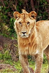 What Happened ??? (Picture Taker 2) Tags: africa nature animals closeup cat outdoors funny colorful pretty native wildlife lion pride bigcat curious unusual wilderness plains predator upclose mammals wildanimals africaanimals masimarakenya flickrbigcats