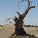 Taklamakan - tree