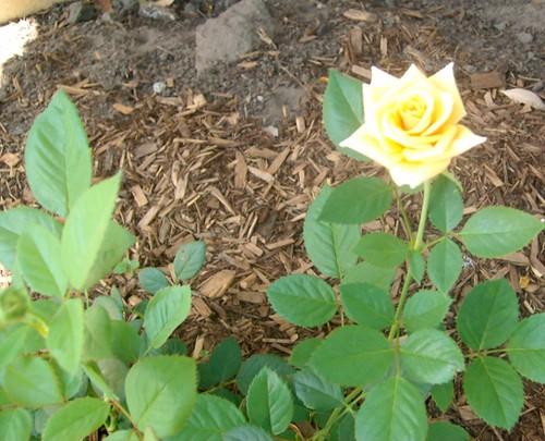 yellowrose2