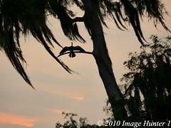 Silhouette: Cypress Tree & Anhinga (Image Hunter 1) Tags: tree nature birds silhouette moss louisiana bayou swamp cypress marsh anhinga lakemartin spanismoss birdslouisiana cypressislandpreserve panasonicfz35