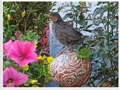 Amselmädchen Paula - blackbird girl Paula