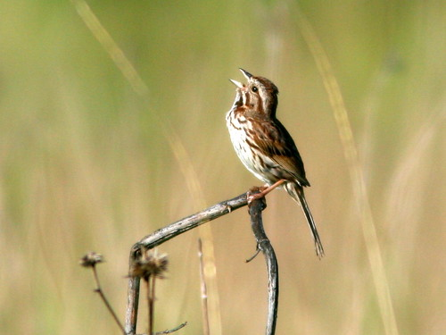 Song Sparrow 20100607