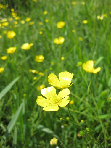 cheery buttercups
