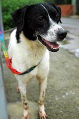 D00235 Star /  (Nick) Tags: dog female star adoptable 4yrs  tuapa d00235