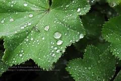 Rain Drop Leafs