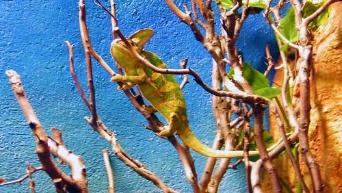 a Chameleon - Dublin Zoo