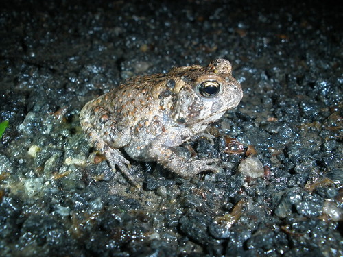 asphalt toad, a truly rare species